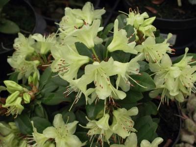 Rhododendron nain Shamrock