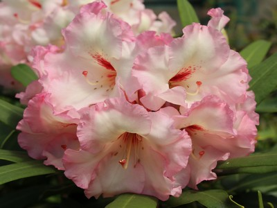 "rhododendron ""Super Dog"""