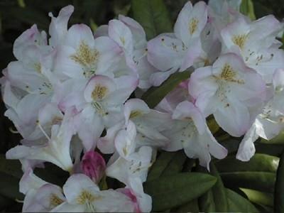 Rhododendron insigne Brigitte