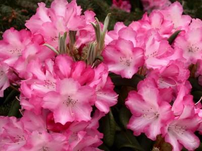 Rhododendron Yakushimanum Emanuela
