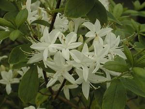 Azalee mollis Viscosa