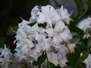 Azalee mollis Whitethroat