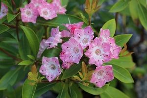 Kalmia Latifolia You Can
