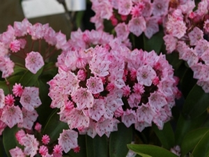Kalmia latifolia Big Boy