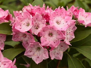 Kalmia latifolia Hearts of Fire