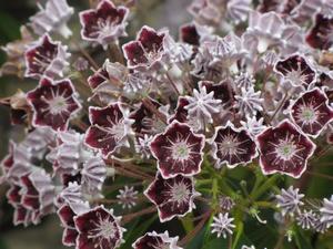 Kalmia latifolia Mitternacht