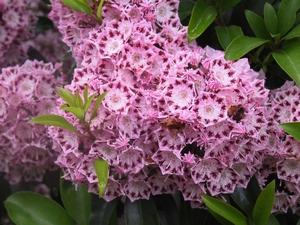 Kalmia latifolia Moyland