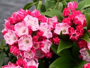 Kalmia latifolia Ostbo Red