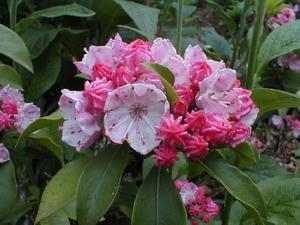 Kalmia latifolia Pink Frost