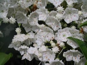 Kalmia latifolia Snowdrift