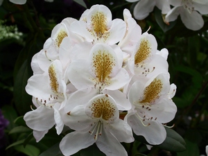 Rhododendron Belle Heller