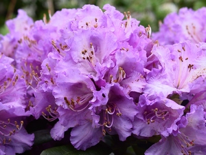 Rhododendron Bellefontaine