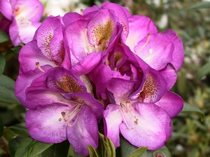 Rhododendron Bluebell