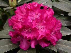 Rhododendron Caractacus