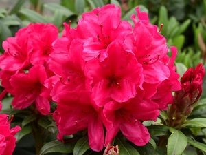 Rhododendron Cary Ann