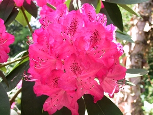 Rhododendron Cynthia