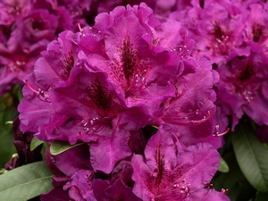 Rhododendron Donator