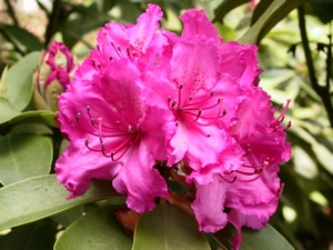 Rhododendron Dr.AW Endtz