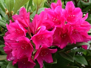 Rhododendron Dr.HC Dresselhuys