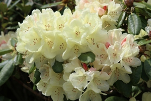 Rhododendron Ehrengold