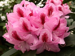 Rhododendron Furnivall's daughter
