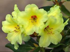 Rhododendron Gedser Gold