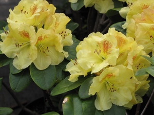 Rhododendron Golden Wit