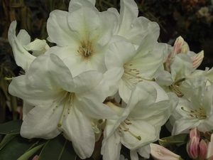 Rhododendron Goldfort