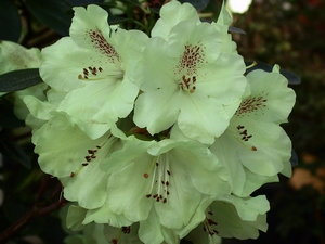 Rhododendron Goldkrone (S)