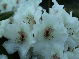 Rhododendron Harvest Moon