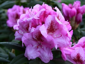 Rhododendron Hurricane