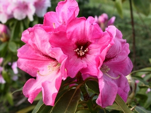 Rhododendron Isabel Pierce