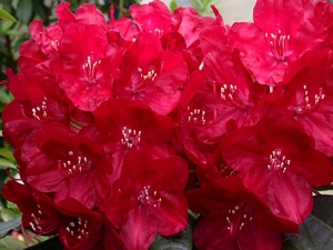 Rhododendron Mars