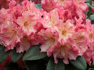Rhododendron Naselle