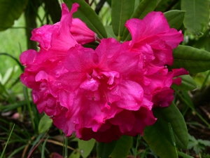 Rhododendron Pink Cameo