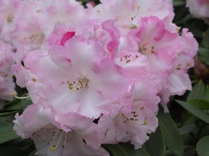 Rhododendron Point Defiance