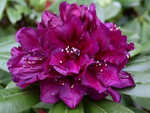 Rhododendron Polarnarcht