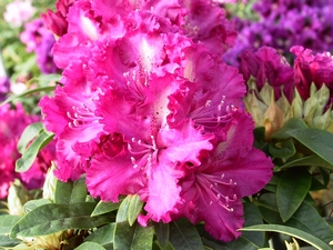 Rhododendron Purple Lace