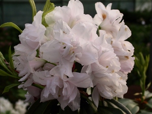 Rhododendron Queen Annes