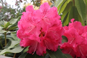 Rhododendron Very Berry