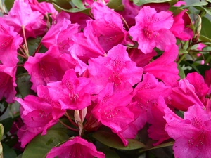 Rhododendron Williamsianum August Lamken