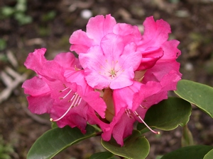 Rhododendron Williamsianum Linda