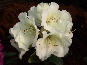 Rhododendron Williamsianum Rothenburg