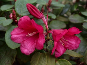 Rhododendron Williamsianum Sea-Tac