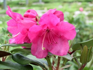 Rhododendron Williamsianum Willbrit