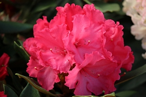 Rhododendron Vollblut