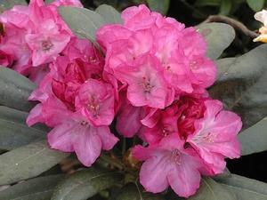 Rhododendron Yakushimanum Anka Heinje