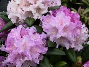 Rhododendron Yakushimanum Caroline Allbrook