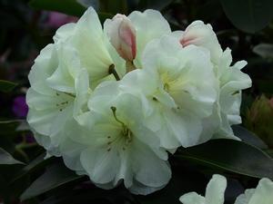 Rhododendron Yakushimanum Creamy Chiffon