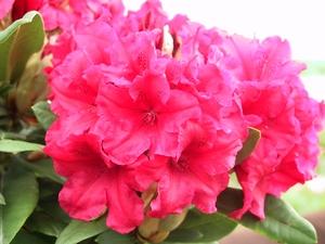 Rhododendron Yakushimanum Dopey